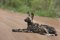 Африканская одичалая собака Стоковые Фотографии RF