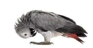 Африканская пер-рудоразборка попугая gery Стоковое фото RF