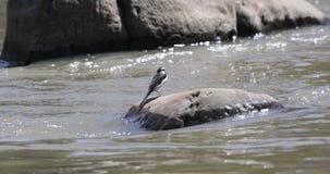 Африканская пестрая трясогузка есть dragonfly сток-видео