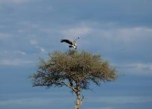 африканская подпертая приземляясь белизна хищника Стоковая Фотография RF