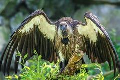 африканская подпертая белизна хищника Стоковое Фото