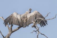 африканская подпертая белизна хищника Стоковое Изображение