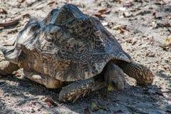 Африканская пришпоренная черепаха на движении Стоковые Изображения RF