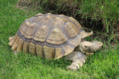 Африканская пришпоренная черепаха отдыхая в холодной траве Стоковая Фотография RF