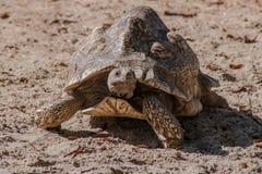Африканская пришпоренная черепаха смотря на фотограф Стоковые Изображения RF