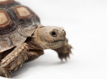 Африканская пришпоренная черепаха Стоковая Фотография