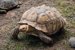 Африканская пришпоренная черепаха Стоковое Изображение