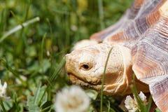 африканская пришпоренная черепаха Стоковые Изображения