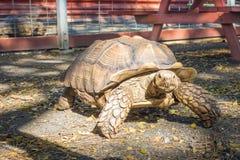 африканская пришпоренная черепаха Стоковые Изображения RF