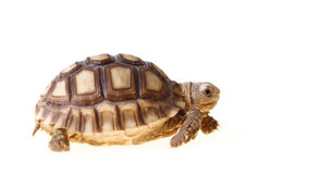 африканская пришпоренная черепаха sulcata Стоковая Фотография