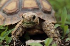 Африканская пришпоренная черепаха (Sulcata) Стоковые Изображения