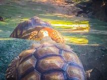 Африканская пришпоренная черепаха (sulcata Centrochelys), также известная как t Стоковое Фото