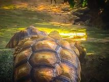 Африканская пришпоренная черепаха (sulcata Centrochelys), также известная как t Стоковые Фото