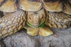 Африканская пришпоренная черепаха (sulcata Centrochelys), также известная как t Стоковые Фотографии RF