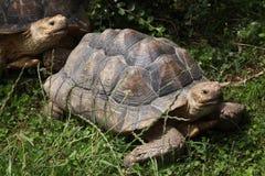 Африканская пришпоренная черепаха (sulcata Centrochelys) Стоковые Изображения RF