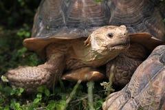 Африканская пришпоренная черепаха (sulcata Centrochelys) Стоковые Фотографии RF