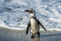 Африканская прогулка пингвина из океана на песчаном пляже Стоковое фото RF