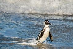 Африканская прогулка пингвина из океана на песчаном пляже Стоковое Фото