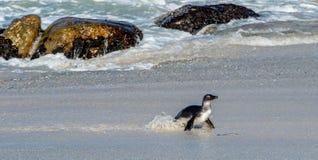 Африканская прогулка пингвина из океана на песчаном пляже Стоковая Фотография