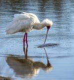 Африканская птица колпицы Стоковые Фото