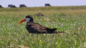 Африканская птица шумовки в траве сток-видео