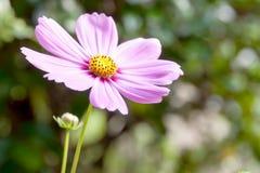 Африканская розовая маргаритка стоковая фотография rf
