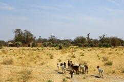 африканская саванна козочек стаи Стоковые Изображения