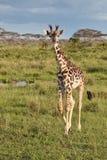 африканская саванна giraffe Стоковое фото RF