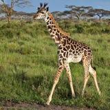африканская саванна giraffe Стоковая Фотография RF
