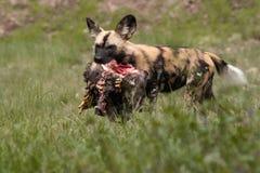 африканская собака одичалая Стоковая Фотография RF