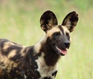 африканская собака одичалая Стоковое фото RF