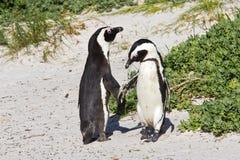 Африканская танцулька пингвина Стоковая Фотография