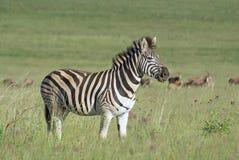 африканская трава burchell упрощает зебру Стоковая Фотография