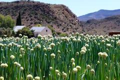 Африканская ферма лука Стоковые Фотографии RF