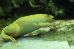 африканская царапнутая лягушка стоковое изображение