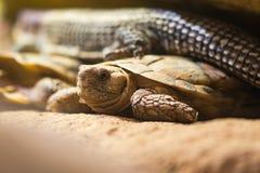 Африканская черепаха блинчика & x28; Tornieri& x29 Malacochersus; Стоковое Изображение RF