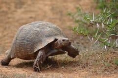 африканская черепаха