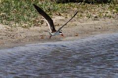 Африканская шумовка летая стоковое фото
