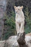 Африканская львица - изображение 2 Стоковое Изображение RF