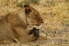 Африканская львица одно Большой Пятерки Стоковые Фотографии RF