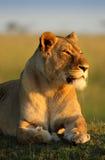 африканская львица южная Стоковое Изображение RF