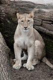 Африканская львица - Стоковое Изображение RF