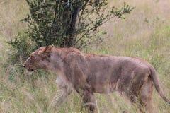 африканская львица Стоковое Изображение RF