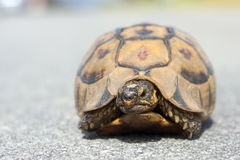 африканская ювенильная черепаха горы Стоковые Фото