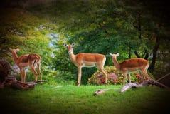 африканские антилопы Стоковое Изображение RF
