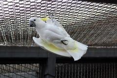 Африканские белые какаду попугая Стоковая Фотография RF