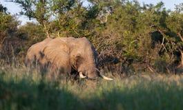 Африканские бивни Стоковые Изображения RF