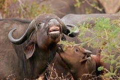 африканские буйволы Стоковые Изображения RF