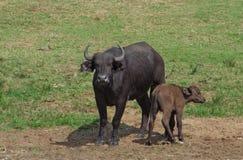 африканские буйволы ambiance солнечные Стоковые Изображения RF