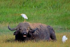 Африканские буйвол и egrets скотин, национальный парк Amboseli, Кения Стоковая Фотография RF